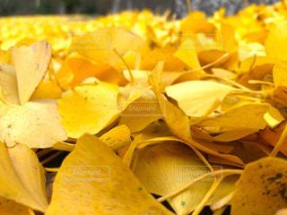 それはそれは黄色い絨毯でした。の写真・画像素材[1808326]