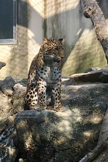 驚き,チーター,唖然,神戸王子動物園