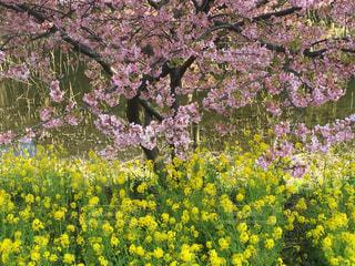 風景,花,春,桜,ピンク,散歩,黄色,菜の花,花見,景色,イエロー,桃色