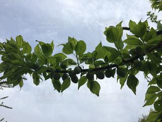 植物の木の成長の写真・画像素材[1237603]