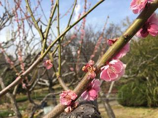 木の枝にピンク色の花のグループの写真・画像素材[1263028]