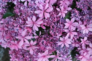 花,ピンク,あじさい,梅雨