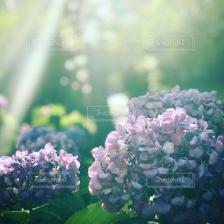紫陽花 梅雨