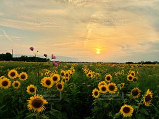 夕暮れのひまわり畑の写真・画像素材[1369378]