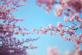 桜の写真・画像素材[1369423]