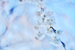 しだれ桜の写真・画像素材[1369446]
