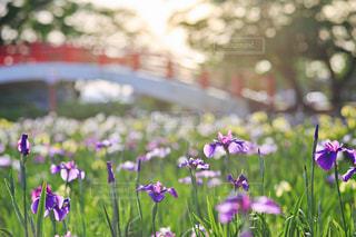 花菖蒲の写真・画像素材[1369475]