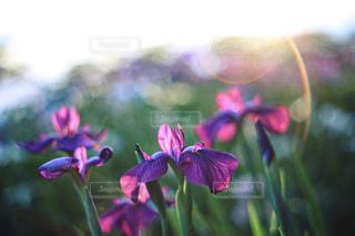 花菖蒲の写真・画像素材[1369488]