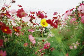 コスモス畑の中のひまわりの写真・画像素材[1369489]
