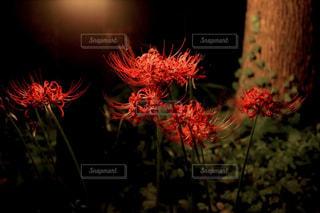夜の彼岸花の写真・画像素材[1369560]