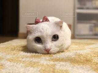 猫,お部屋,白,かわいい,部屋,室内,アップ,まったり,見つめる,マシュマロ,マンチカン,おまんじゅう