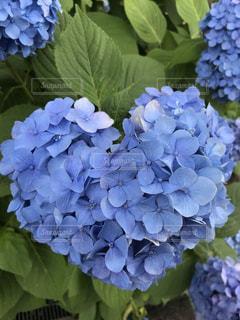 花,屋外,あじさい,樹木,紫陽花,梅雨,アジサイ,ハートのアジサイ
