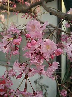 花,桜,屋外,ピンク,晴れ,しだれ桜,草木