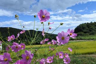花,屋外,コスモス,晴れ,秋桜,草木