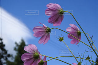 花,屋外,ピンク,コスモス,晴れ,秋桜,草木
