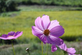 屋外,ピンク,コスモス,晴れ,稲穂,秋桜,草木