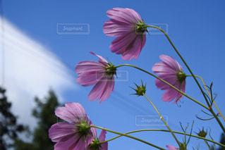 自然,空,花,秋,屋外,ピンク,コスモス,雲,晴れ,稲穂,秋桜,草木,秋の空