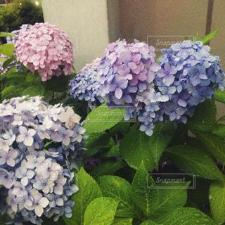 雨,水滴,ハート,紫陽花,道端