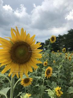 黄色の花の写真・画像素材[1389863]