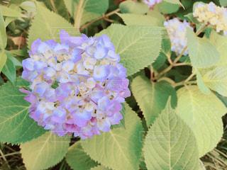 紫陽花 花 青色 梅雨