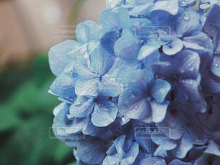 花,夏,雨,あじさい,紫陽花,日本,6月,Hydrangea,草木,アジサイ,rainyday