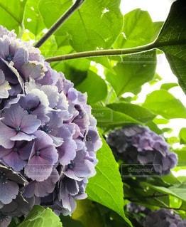 花,雨,紫,紫陽花,梅雨