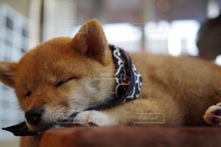 お昼寝してる豆柴の写真・画像素材[1241994]