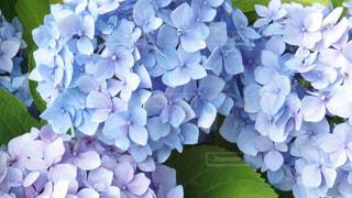自然,風景,花,屋外,紫陽花,梅雨,アジサイ