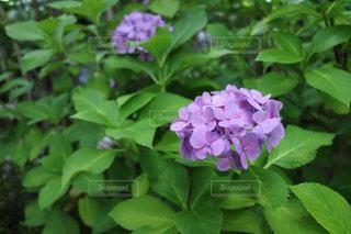6月の紫陽花の写真・画像素材[1241070]