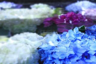 花,水,紫陽花,初夏,梅雨