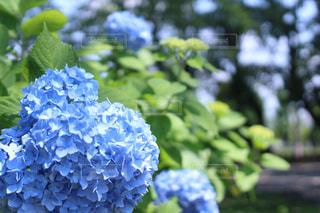 花,紫陽花,初夏,梅雨
