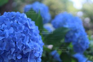 花,屋外,紫陽花,梅雨,一眼