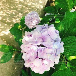 あじさい,紫陽花,梅雨,グラデーション,うす紫