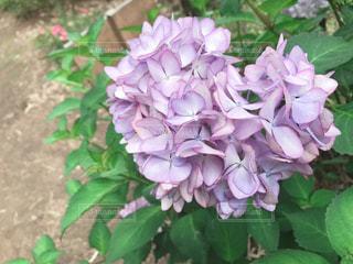 ピンク,ピンクの花,ハート,紫陽花