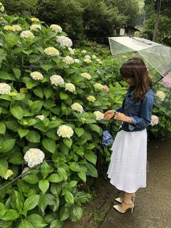 雨,傘,京都,紫陽花,お寺,梅雨,6月,三室戸