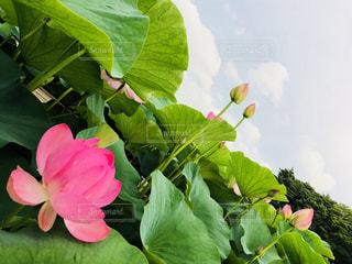 花,ピンク,蓮,はす,梅雨の花,蓮花,はすの花