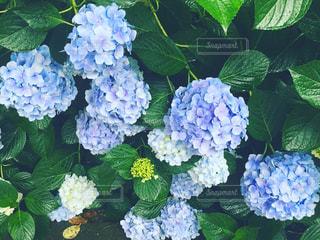 雨,紫陽花,梅雨,6月,鎌倉,明月院