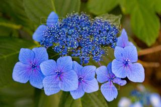 梅雨の晴れ間の紫陽花の写真・画像素材[1367898]