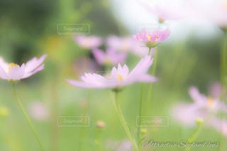 自然,花,秋,ピンク,コスモス,綺麗