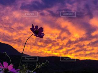 秋空の夕暮れにコスモスの写真・画像素材[1486096]