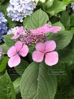 あじさい,紫陽花,ガクアジサイ,アジサイ,あじさいの花
