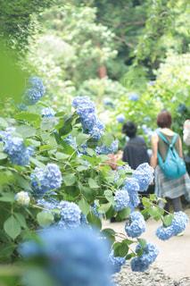 紫陽花,梅雨,明月院