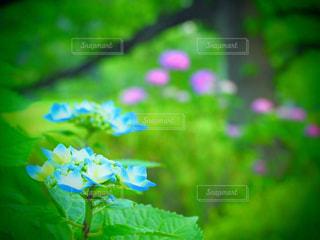 公園,花,緑,紫陽花,赤と青