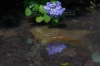 大阪,紫陽花,リフレクション,梅雨,鶴見緑地,花博記念公園鶴見緑地