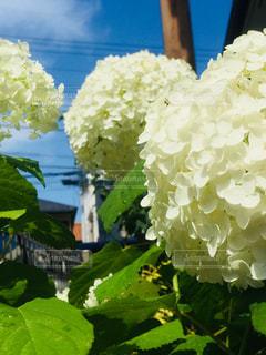 花,庭,青空,あじさい,葉っぱ,紫陽花,雨上がり,梅雨,アナベル,アジサイ,雨の後,梅雨の晴れ間,濡れた葉っぱ