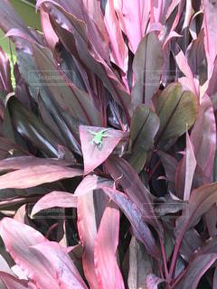 花,ピンク,鮮やか,草木,ピンクの葉,ピンクの中に緑