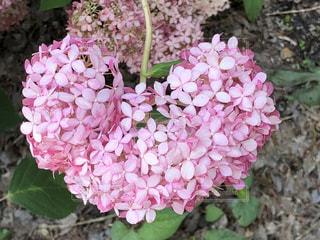 花,ピンク,ハート,紫陽花