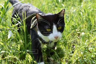 春の庭を散歩する猫の写真・画像素材[1255316]