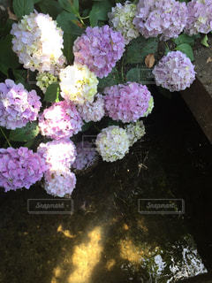 花,小川,草花,紫陽花,梅雨