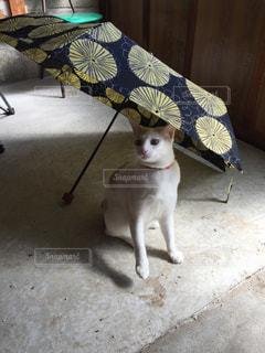 猫,傘,玄関,梅雨,愛猫